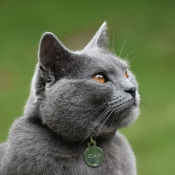 Photo de Chartreux
