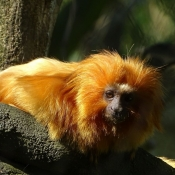 Photo de Singe - tamarin lion doré