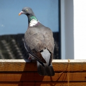 Photo de Pigeon - ramier
