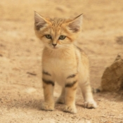 Photo de Chat des sables