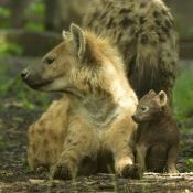 Photo de Hyène