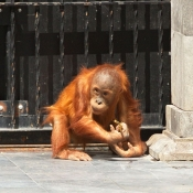 Photo d'Orang-outan