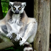 Photo de Lémurien - maki catta