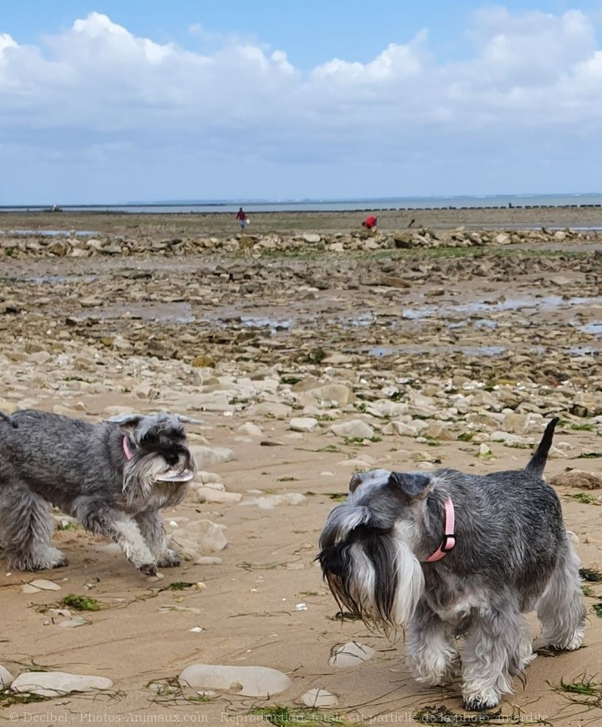 Photo de Schnauzer nain