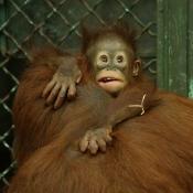 Fond d'écran avec photo d'Orang-outan