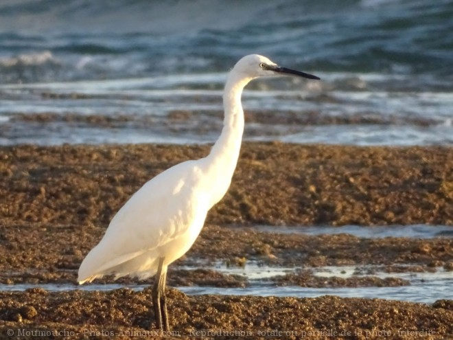 Photo d'Aigrette