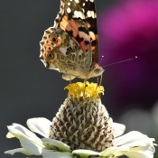 Photo de Papillon - belle-dame