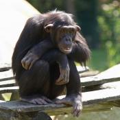 Fond d'écran avec photo de Singe - chimpanzé