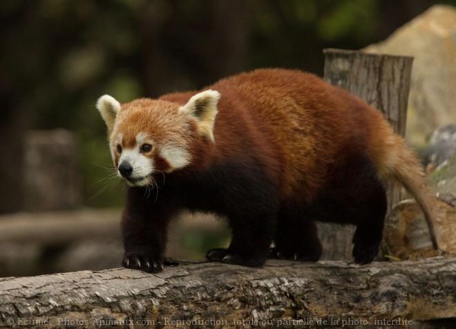 Photo de Panda