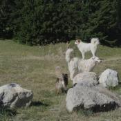 Photo de Chien de berger des pyrenées à poil long