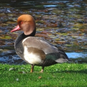 Photo de Canard nette rousse