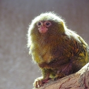Photo de Singe - ouistiti pygmée