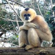 Fond d'écran avec photo de Singe - gibbon