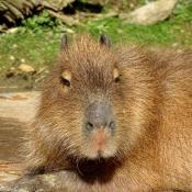 Fond d'écran avec photo de Cabiai ou capybara
