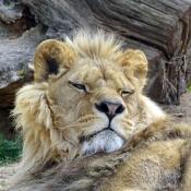 Fond d'écran avec photo de Lion