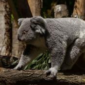 Fond d'écran avec photo de Koala