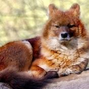 Photo de Dhôle - chien sauvage d'asie