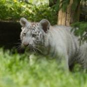 Fond d'écran avec photo de Tigre