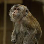 Photo de Singe - macaque