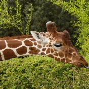 Fond d'écran avec photo de Girafe