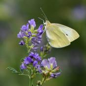 Photo de Papillon - piéride