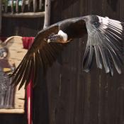 Fond d'écran avec photo de Condor