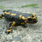 Photo de Salamandre